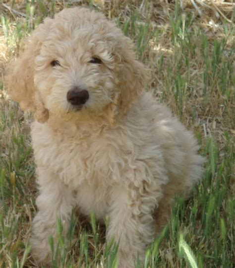 Labradoodle Shed by Oasis Labradoodles Home