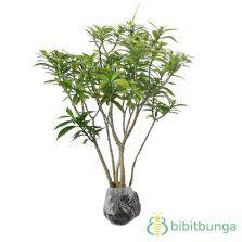 Tanaman Hias Ginseng Golden Kuning Variegata tanaman rombusa mini golden bibitbunga