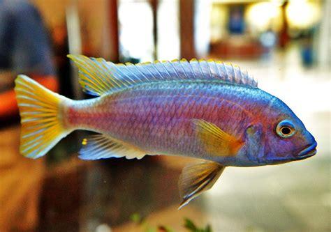 colorful fish file colorful fish in a tank panoramio jpg wikimedia