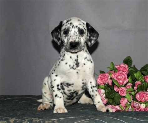 dalmatian puppies for sale craigslist healthy loyal dalmatian puppies craigspets