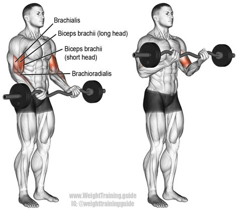ez bar curl exercise and weight