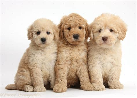 goldendoodle puppy history purpose