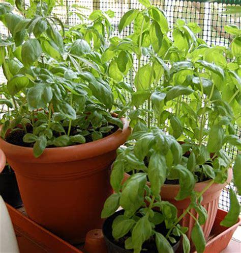 piantare il basilico in vaso seminare il basilico in piena terra pollicegreen