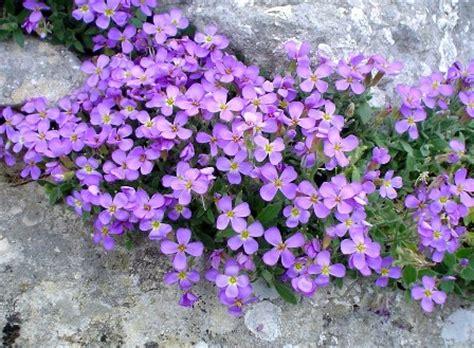 fiori tappezzanti piante tappezzanti l aubretia pollicegreen
