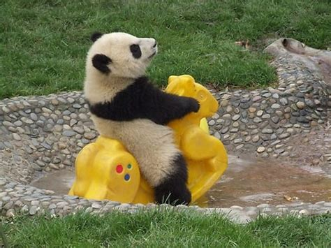 Ineke Panda playful beautiful animals more