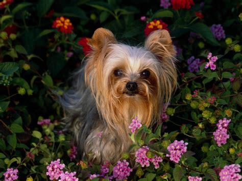 yorkie puppy terrier dogs wallpaper 13248751 fanpop