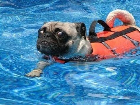 pug titanic okay this swimming stuff is for the ducks swim swimming the o jays