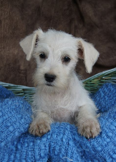 missouri puppy breeders how to care for schnauzer dogs the way
