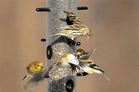 birds aren t flocking to backyard feeders this winter