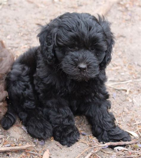 black labradoodle puppies 25 best ideas about black labradoodle on labradoodles golden doodles and