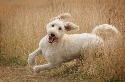 goldendoodle puppy breathing fast goldendoodle stock photos and pictures getty images