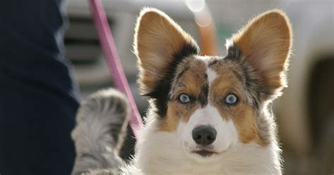 dogs with ears ear shapes and types