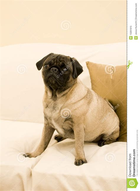 pug on couch cute pug sitting on couch royalty free stock photo image