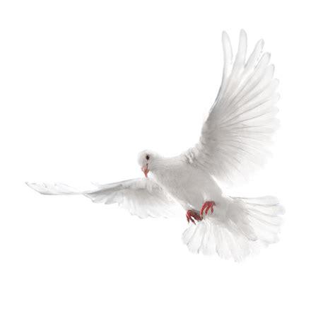 imagenes de palomas blancas gratis imagen png paloma blanca volando imagenes png