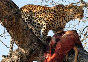 Jaguar Leopard Cheetah Jaguar Leopard Cheetah Differences Tigers And Other