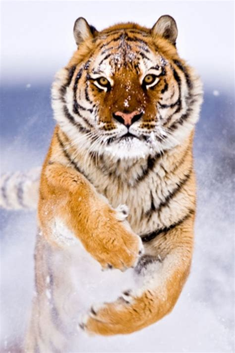 wallpaper iphone tiger best 35 bengal tiger pictures and wallpapers
