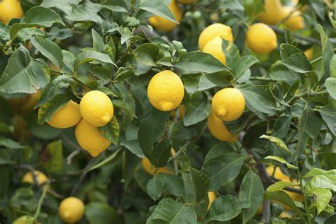 citrus fruit tree lemon lemonade