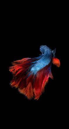 apple wallpaper betta fish apple iphone 6s wallpaper with two betta fishes fighting