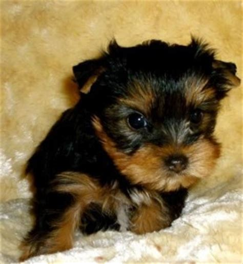 yorkie puppy scams giveaway terrier teacup puppies charleston sc asnclassifieds