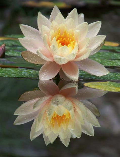 fiore meaning lotus flower meanings