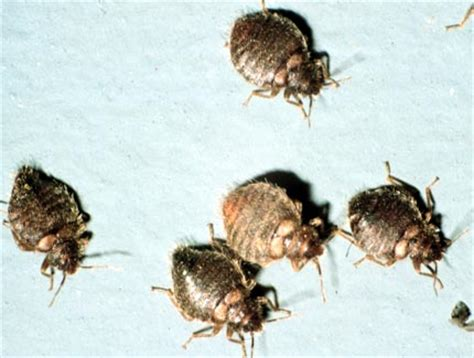 do bed bugs suck blood the attack of the blood sucking bed bugs world correspondents