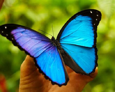 imagenes de mariposas morfo azul mariposa azul fotograf 237 a de amazon reise eco lodge