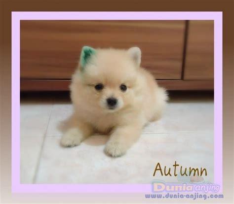 pomeranian puppies for sell dunia anjing jual anjing pomeranian mini pom puppies for sell