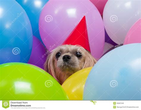 puppy balloons shih tzu in balloons stock photo image 45667546