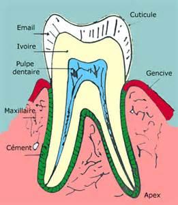 sch 233 ma et structure d une dent