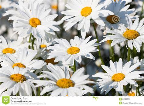 imagenes margaritas blancas margaritas blancas fotos de archivo imagen 25905533