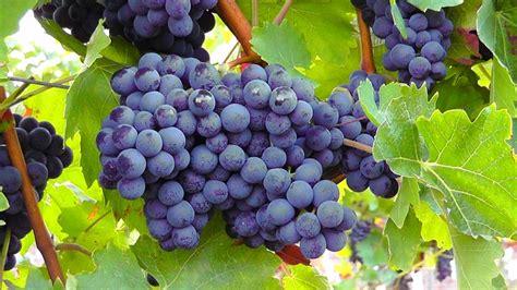 Bibit Benih Seeds Buah Anggur Wine Grape Fruit Common Grape Vine Blue Grapes Fruit Blue Grape Free Image 77376