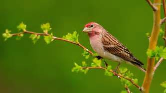 Sparrow   wallpaper.
