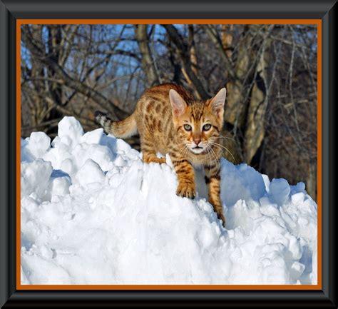 breeder directory translate fanciers breeder referral list pedigreed cat breeders from to