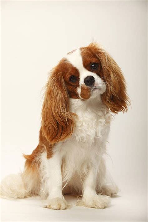 cavalier puppies 17 best ideas about cavalier king charles on charles spaniel king charles