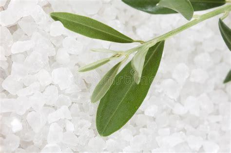fresh olive branch  bath salt spa stock photo image