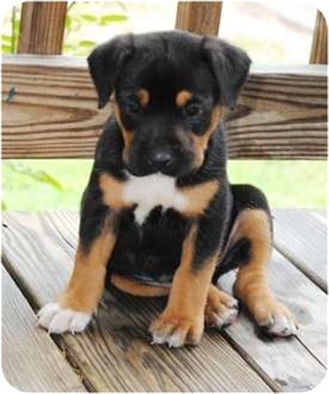 rottweiler terrier mix adopted puppy paintsville ky rottweiler american staffordshire terrier mix
