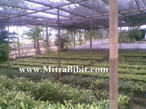 Bibit Cendana Bersertifikat cv mitra bibit cara budidaya tanaman cengkeh