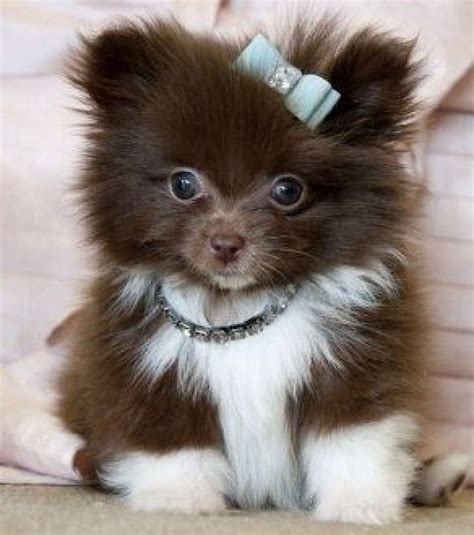 how big do teacup pomeranians get 23 best pomsky images on breeds pomsky puppies and puppy pictures