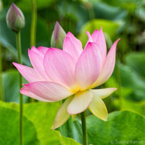 sacred lotus sea of sacred lotus flowers in los angeles try something
