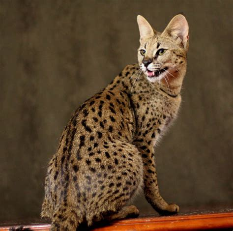 Savannah Cat Pictures and Info