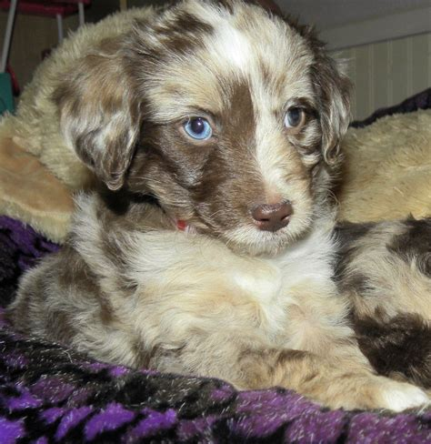 mini aussiedoodle puppies baby blue ribbon merle and family