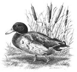 top mallard ducks landing drawings images for pinterest