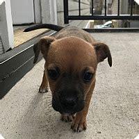 staten island puppy adoption staten island ny basset hound labrador retriever mix meet ash a puppy for adoption
