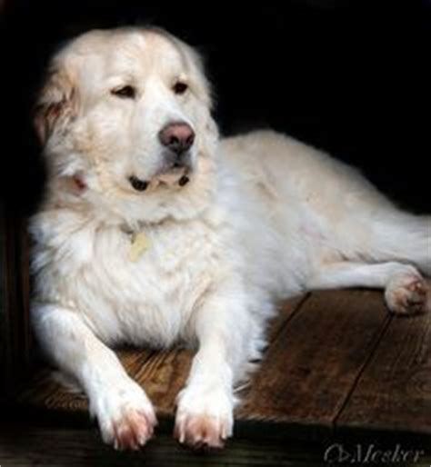 akbash golden retriever mix 1000 images about great pyrenees on great pyrenees great pyrenees