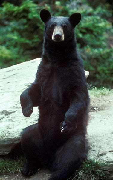 north american black bear ursus americanus animals   animals