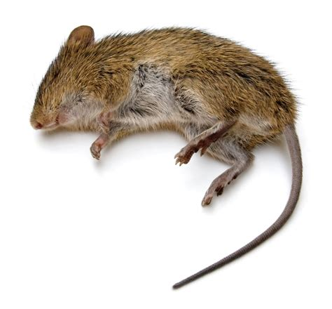 dead rat smell decomposing rat smell the best rat of 2018
