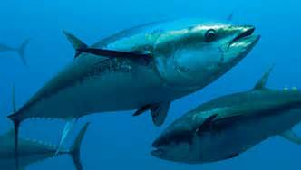 fish species in the world tuna fish