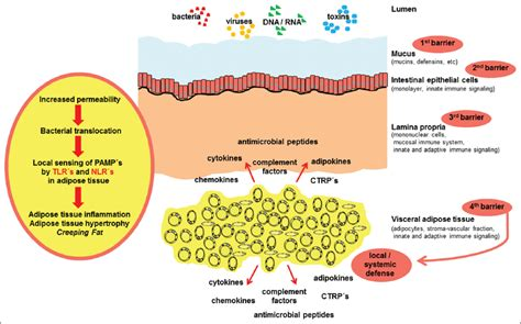 pattern recognition receptor inflammatory bowel disease adipokines and the role of visceral adipose tissue in