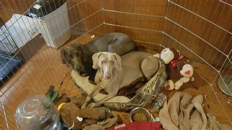 weimaraner puppies for sale in michigan weimaraner puppy for sale in westland michigan