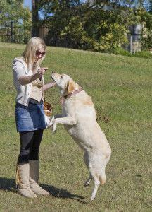 how to a not to jump up 84 best images about puppy on cesar millan diy and